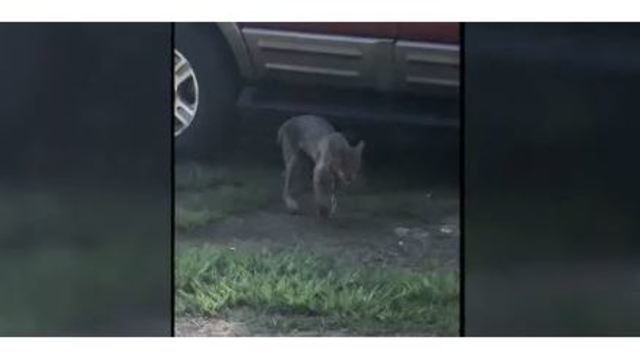 Georgia woman strangles bobcat to death in front yard