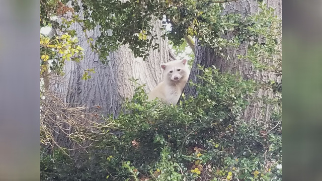 'White raccoon' spotted in Northern California
