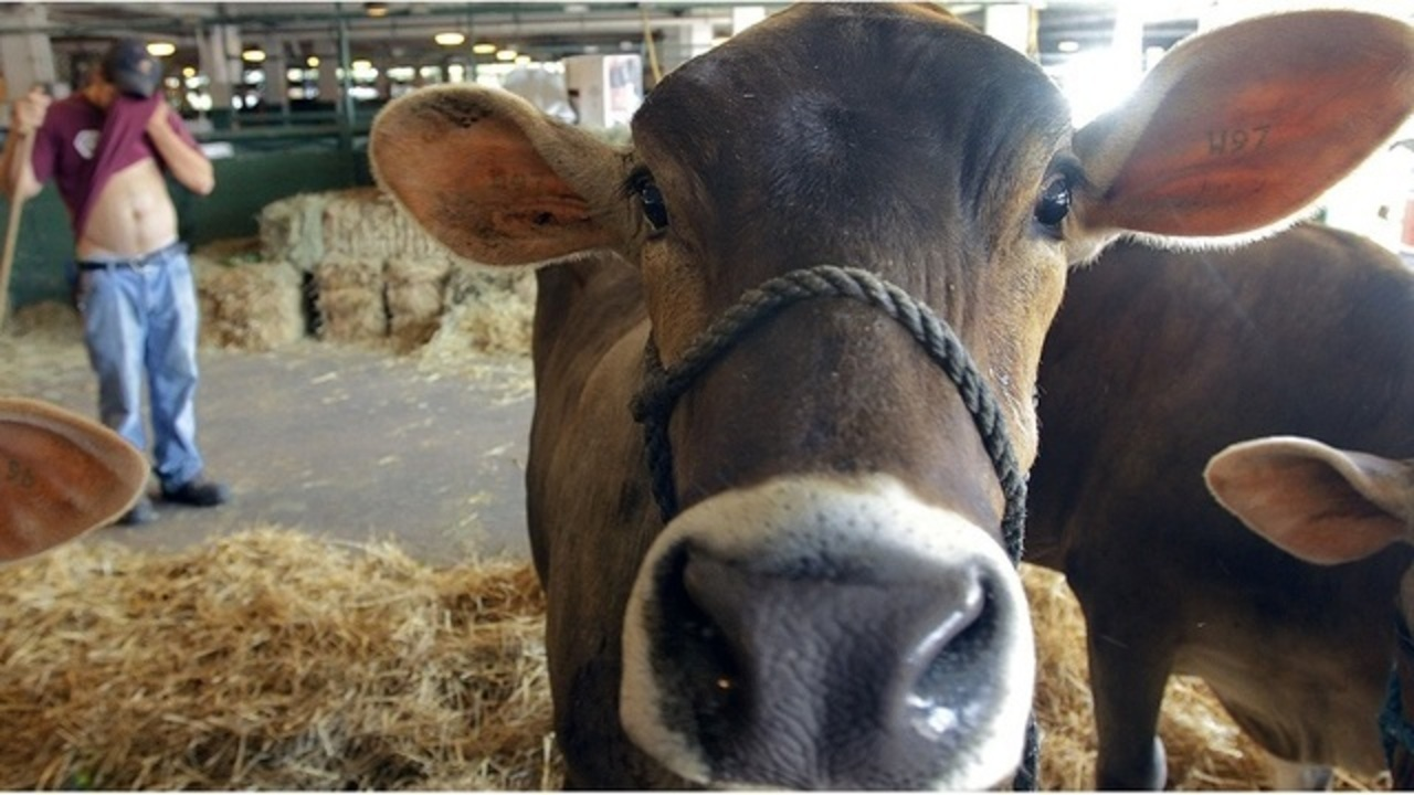 Study: Surprising number of Americans think chocolate milk comes from brown cows