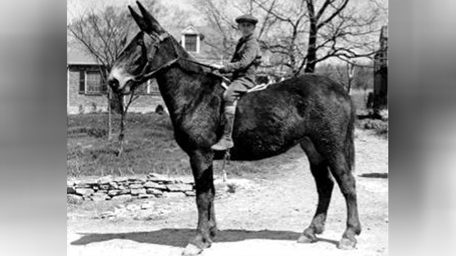 Mule Day 1939 image 1
